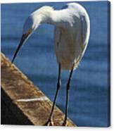 Snowy Egret That Minnow Will Be Fine Canvas Print