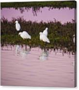 Snowy Egrets At Sunset Canvas Print