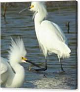 Snowy Egrets Canvas Print