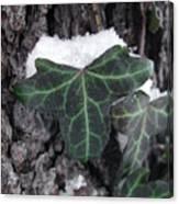 Snowy Ivy Canvas Print