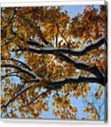 Snowy Oak Canvas Print