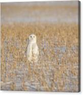 Snowy Owl 2016-4 Canvas Print