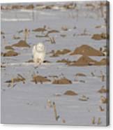 Snowy Owl 2016-9 Canvas Print