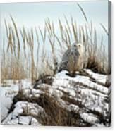 Snowy Owl In Dunes #2 Canvas Print