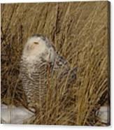 Snowy Owl In Grass Canvas Print