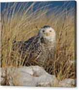 Snowy Owls On The Beach Canvas Print