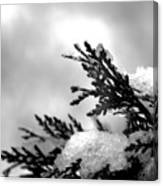 Snowy Pine Branch Canvas Print