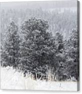 Snowy Pines In The Pike National Forest Canvas Print