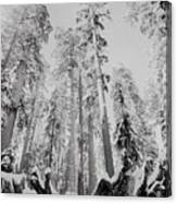 Snowy Sequoias At Calaveras Big Tree State Park Black And White 3 Canvas Print