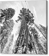 Snowy Sequoias At Calaveras Big Tree State Park Black And White 6 Canvas Print