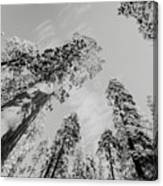 Snowy Sequoias At Calaveras Big Tree State Park Black And White 7 Canvas Print