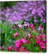 Soapwort And Pinks Canvas Print
