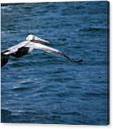 Soaring Pelican Canvas Print