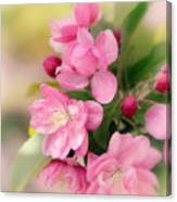 Soft Apple Blossom Canvas Print