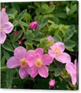 Soft Light On Nookta Rose Rosa Nutkana Canvas Print