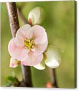 Pink Quince Blossom Canvas Print