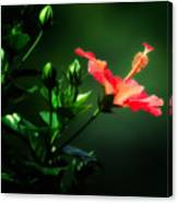 Soft Red Hibiscus Plant Canvas Print