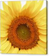 Soft Sunflower Canvas Print