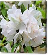 Soft White Azaleas Canvas Print
