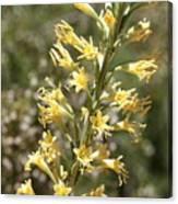 Soft Yellow Desert Flowers Canvas Print
