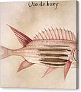Soldier-fish, 1585 Canvas Print