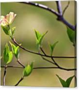 Solitary Dogwood Bloom Canvas Print