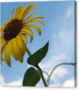 Solitary Sunflower From Below Canvas Print