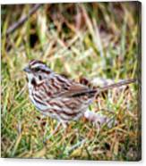 Song Sparrow Sweetie Canvas Print