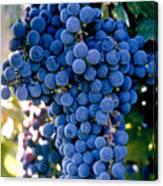 Sonoma Grapes Canvas Print