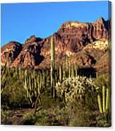 Sonoran Cacti Everywhere Canvas Print