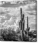Sonoran Desert View Canvas Print