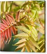 Sorbaria Sorbifolia Spring Foliage Canvas Print