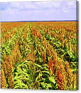 Sorghum Plants Fields In Botswana Canvas Print