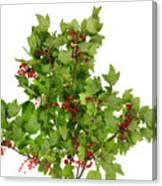 Sour Red Berries Bush Isolated Canvas Print