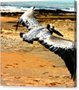 South Padre Pelican Canvas Print