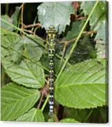 Southern Hawker Canvas Print