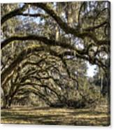 Southern Live Oaks With Spanish Moss Color Canvas Print