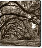 Southern Live Oaks With Spanish Moss Canvas Print