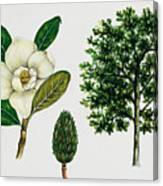 Southern Magnolia Or Bull Bay  Canvas Print