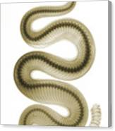 Southern Pacific Rattlesnake, X-ray Canvas Print