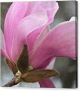 Southern Saucer Magnolia Closeup Canvas Print