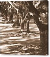 Southern Sunlight On Live Oaks Canvas Print