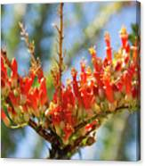 Southwest Ocotillo Bloom Canvas Print