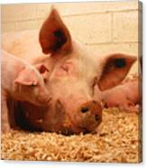 Sow And Piglets Canvas Print