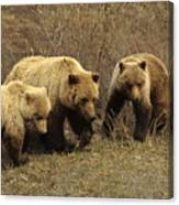 Sow Grizzly With Cubs Canvas Print