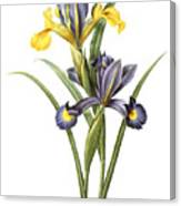 Spanish Iris Canvas Print