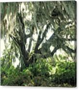 Spanish Moss In Motion Canvas Print