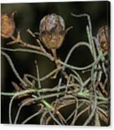 Spanish Moss On Azalea  Canvas Print