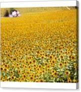 Spanish Sunflowers Canvas Print