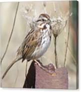 Sparrow 2 Canvas Print